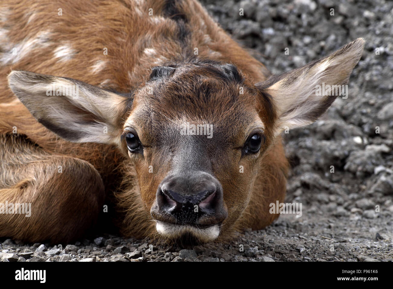 A close up image of a newborn elk calf cervus elaphus laying down a close up image of a newborn elk calf cervus elaphus laying down in a low position to hide from the photographer near publicscrutiny Image collections