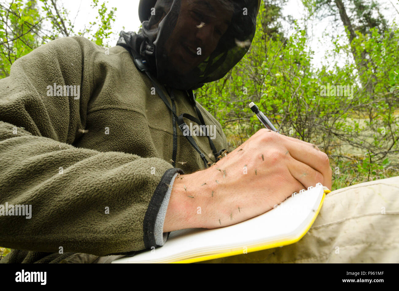 A biologist makes notes while being attacked by hordes of mosquitos on his hand, northern British Columbia - Stock Image