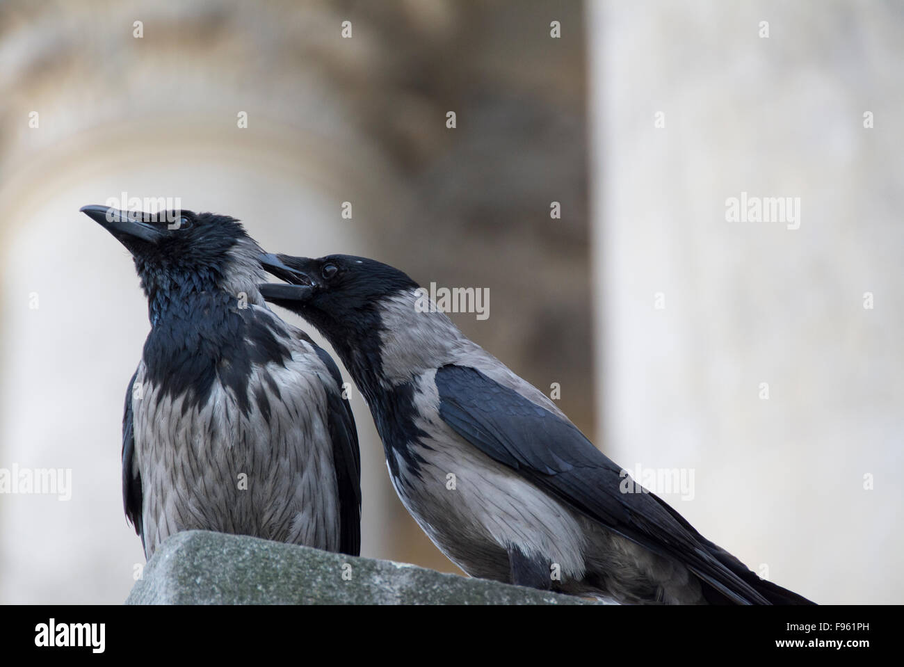 The hooded crow (Corvus cornix), a Eurasian bird species in the crow genus. Berlin, Germany - Stock Image