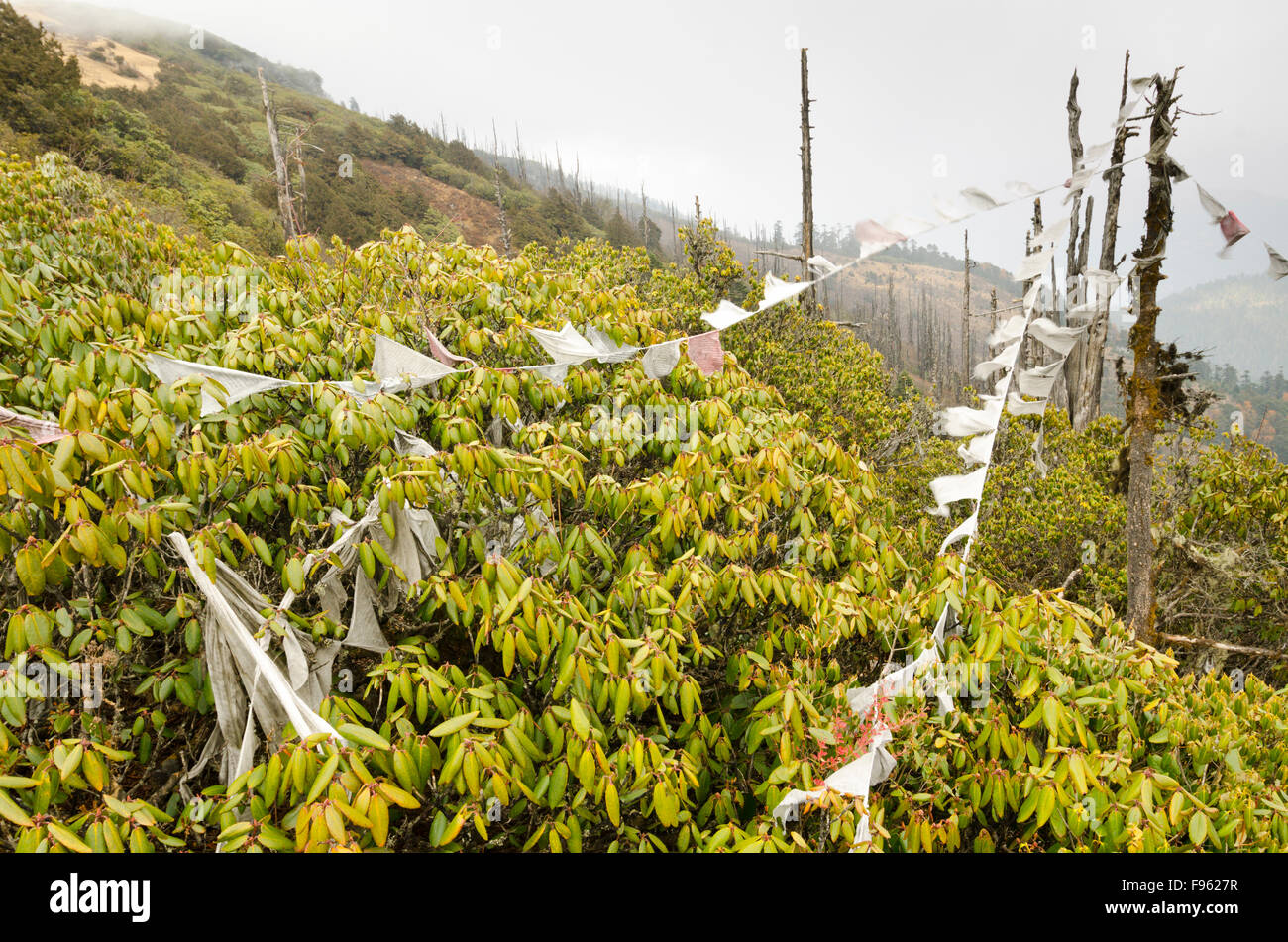 Prayer flags and rhododendrons near Chele Pass, Bhutan - Stock Image