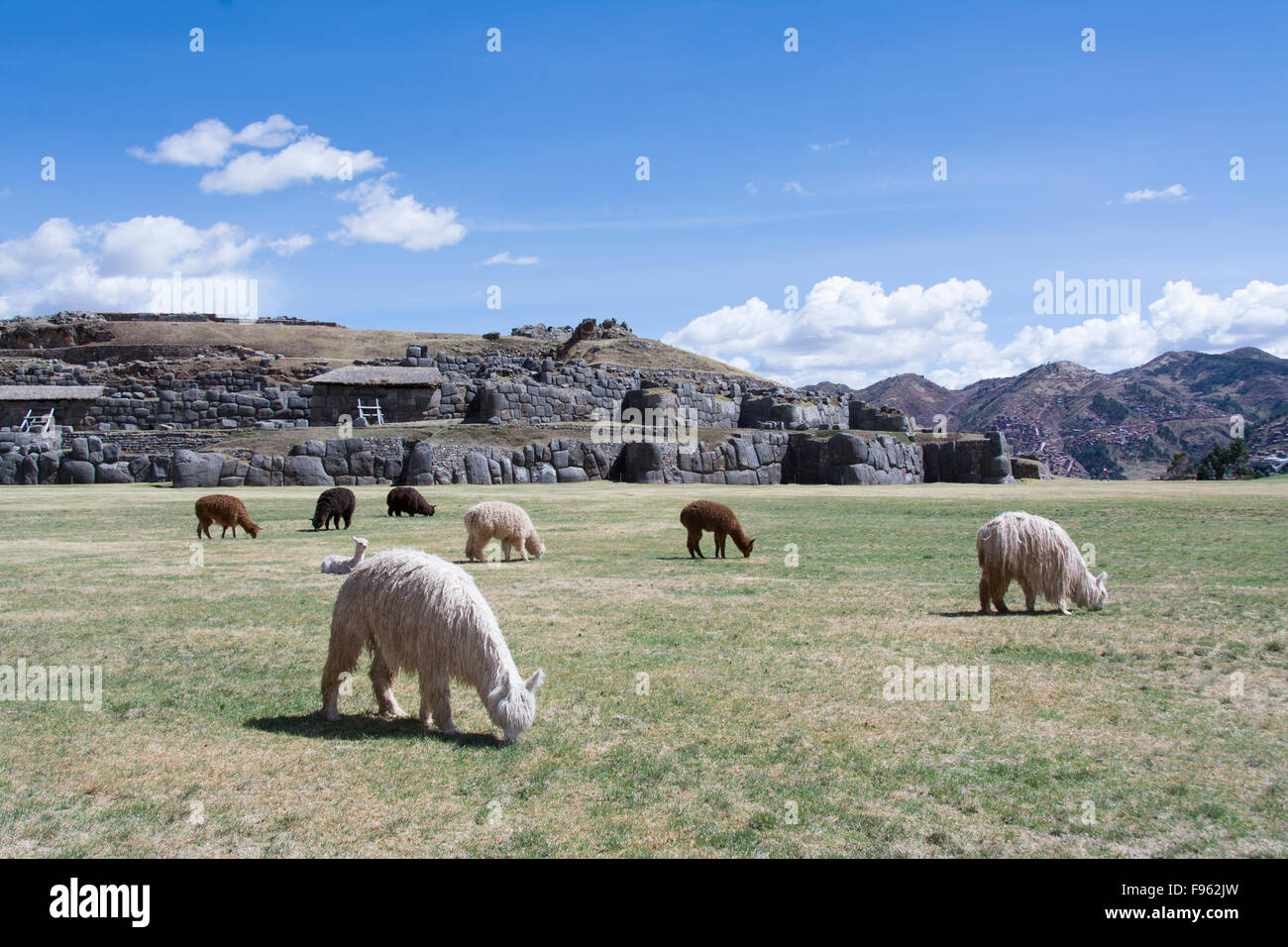Llamas at Sacsayhuaman arguably is the most impressive of all the ancient sites in Peru , Cuzco, Peru - Stock Image
