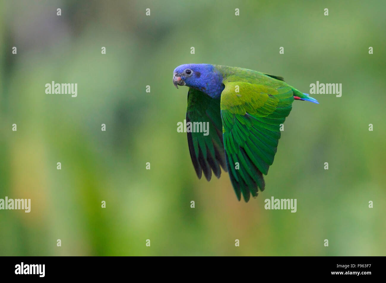 Blueheaded Parrot (Pionus menstruus) flying in Manu National Park, Peru. - Stock Image