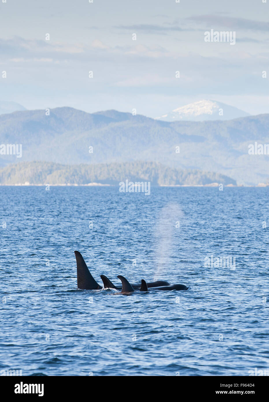 A family or Orca's transits the waters near the MacMullen Group of Islets.  Great Bear Rainforest, Central British - Stock Image
