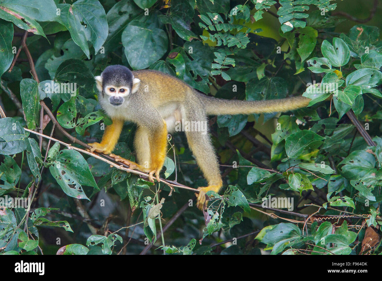 A Squirrel Monkey perched on a branch in Manu National Park, Peru. - Stock Image