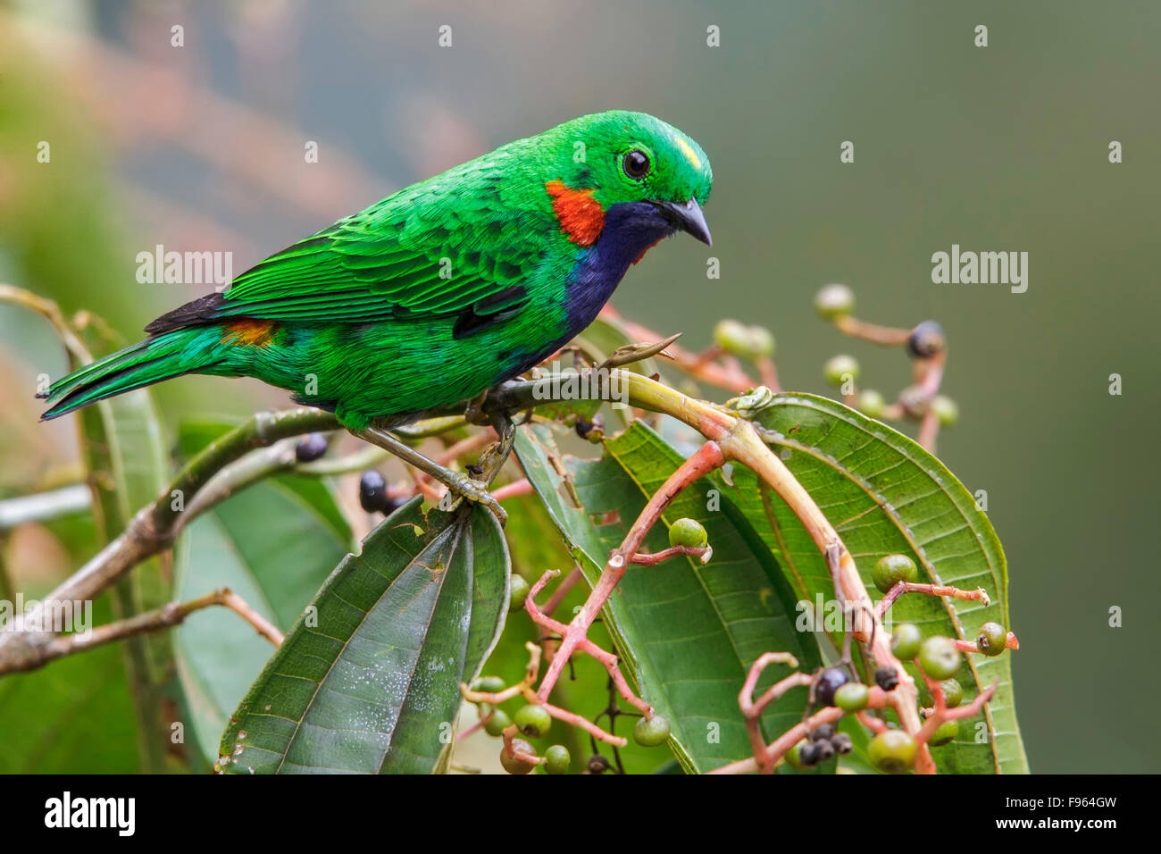 Orangeeared Tanager (Chlorochrysa calliparaea) perched on a branch in Manu National Park, Peru. - Stock Image
