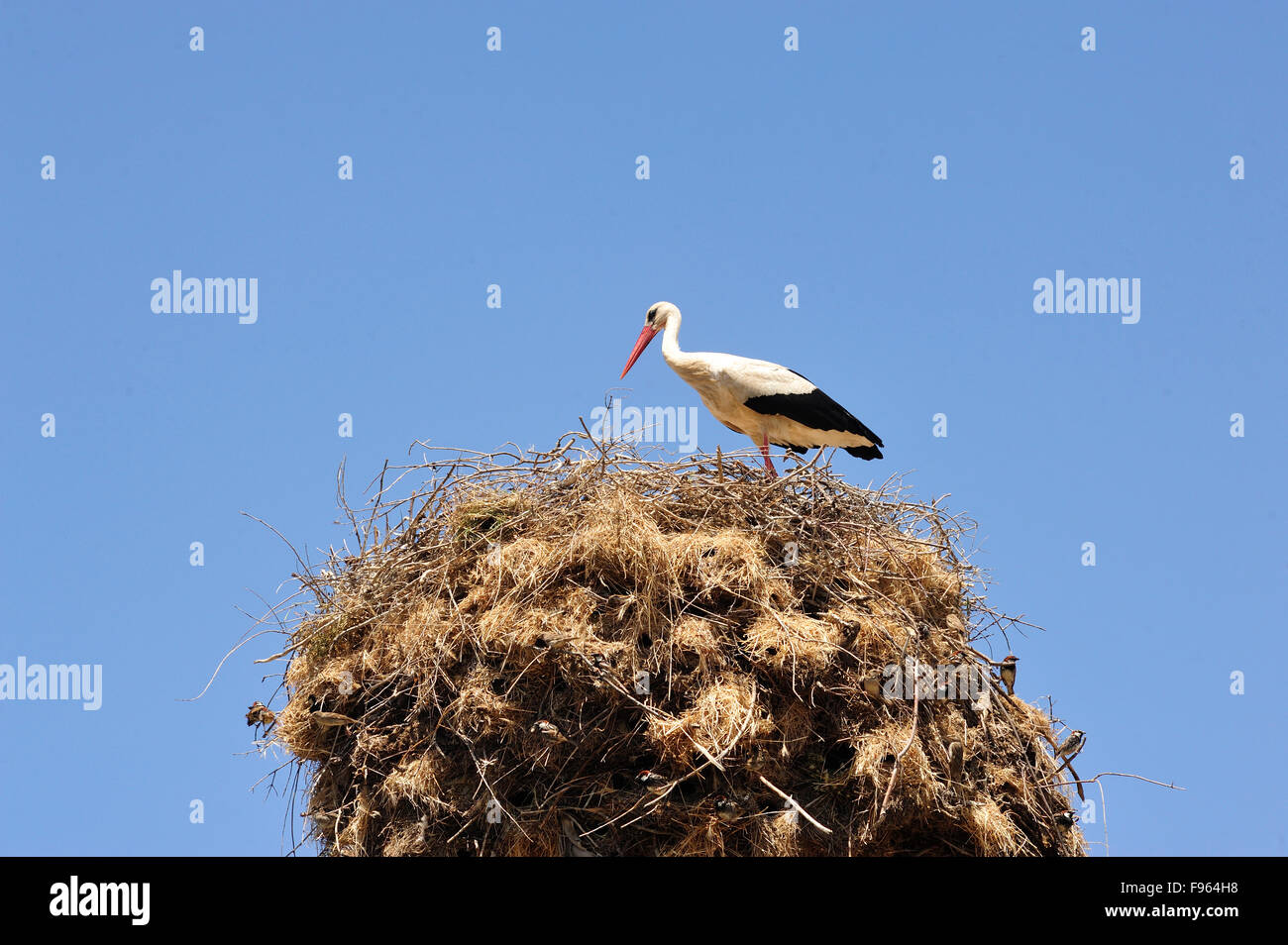 white stork, Ciconia ciconia, on nest on power pole beside Gulnipar  Babakale Road, Biga Peninsula, Turkey - Stock Image