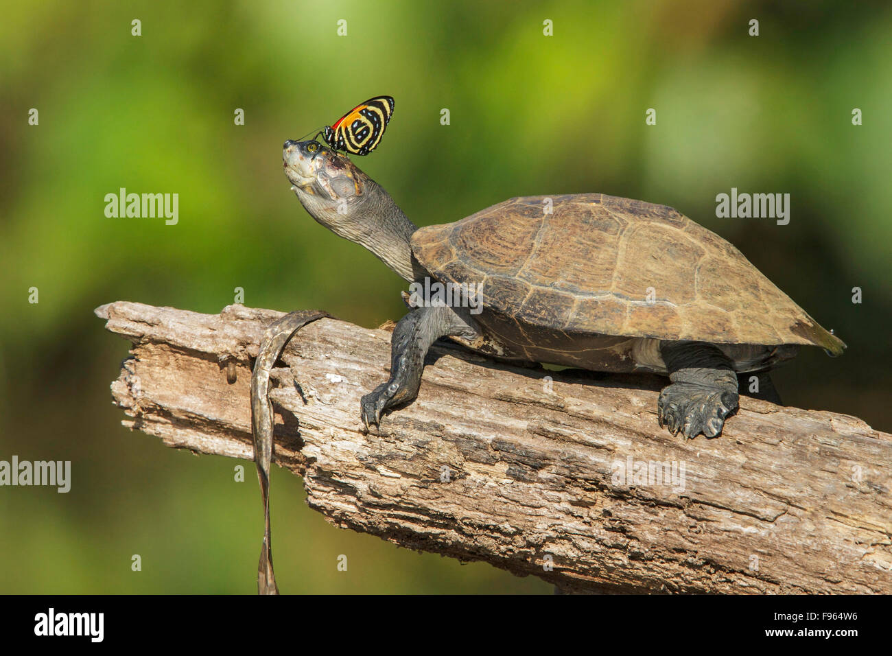A turtle with a butterfly on its nose in Manu National Park, Peru. - Stock Image