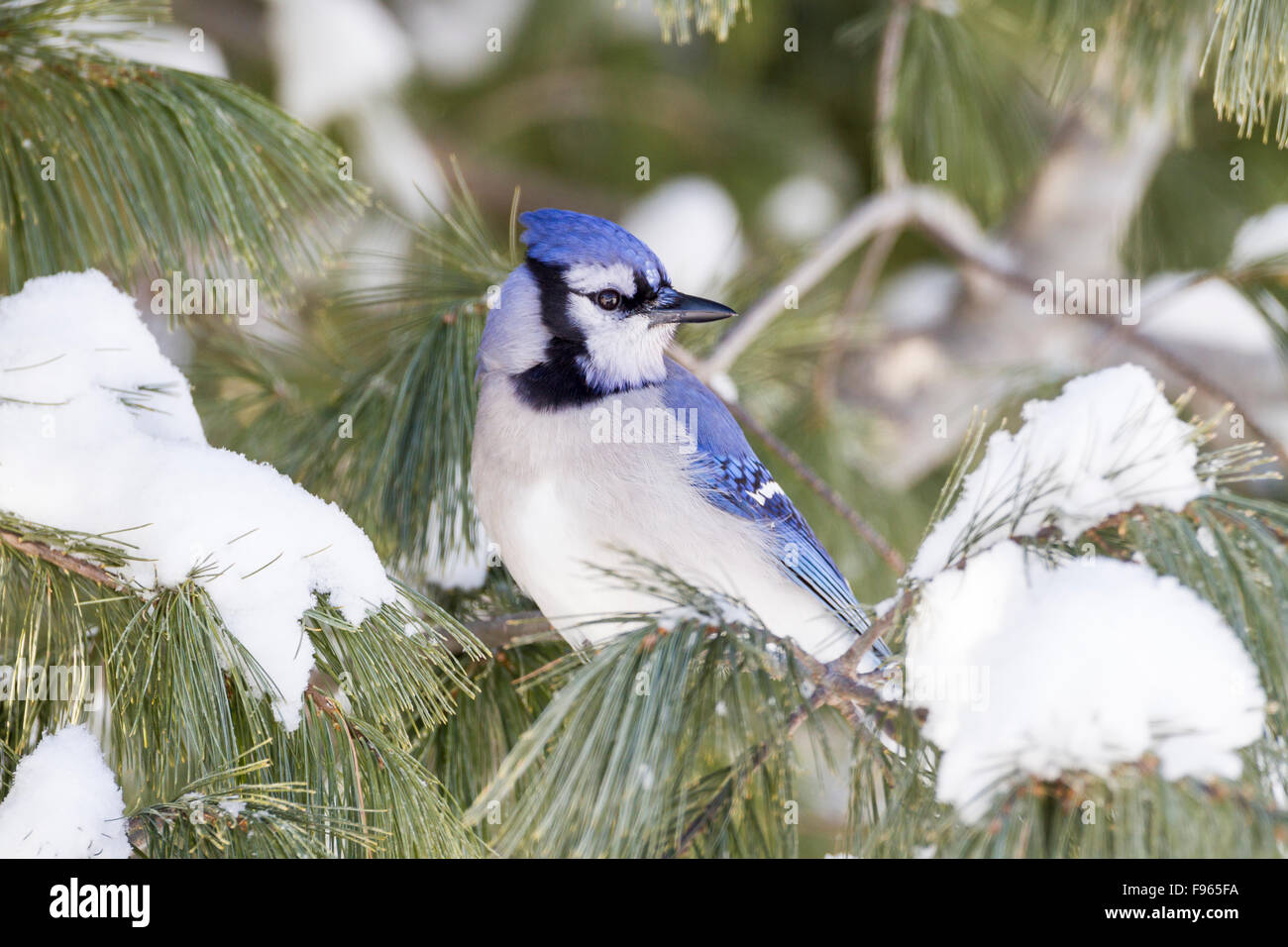 Blue Jay (Cyanocitta cristata) in a snowy pine tree in Algonquin Provincial Park, Ontario, Canada - Stock Image