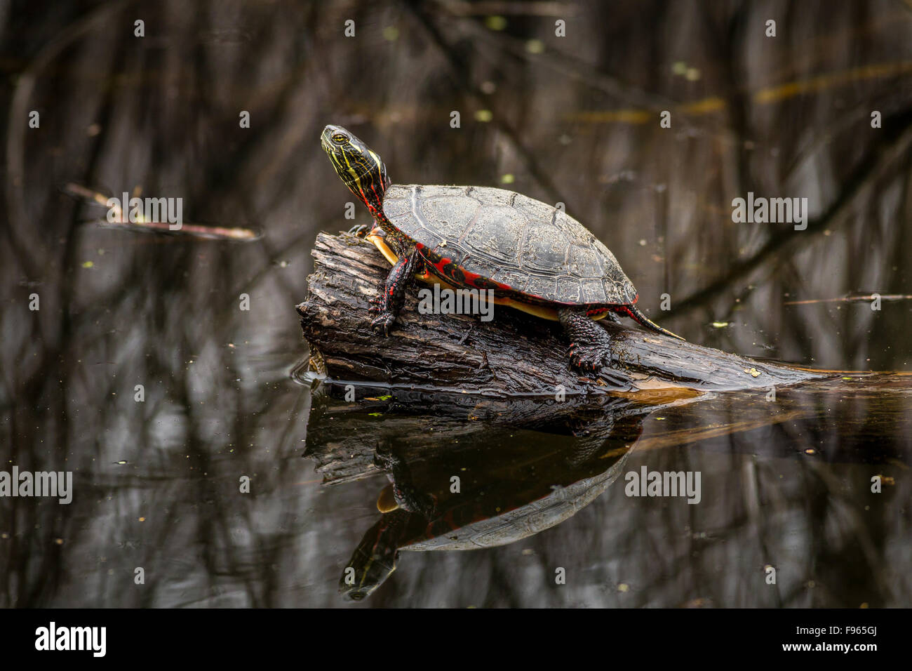 Midland Painted Turtle (Chrysemys picta marginata) sunning on a log in Frontenac Provincial Park, Ontario, Canada - Stock Image