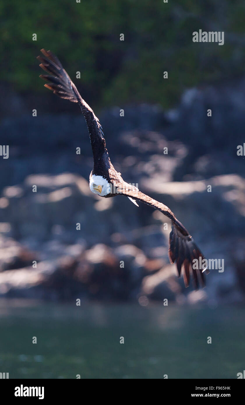 An Eagle closes in on his latest meal in the waters of Johnstone Strait. - Stock Image