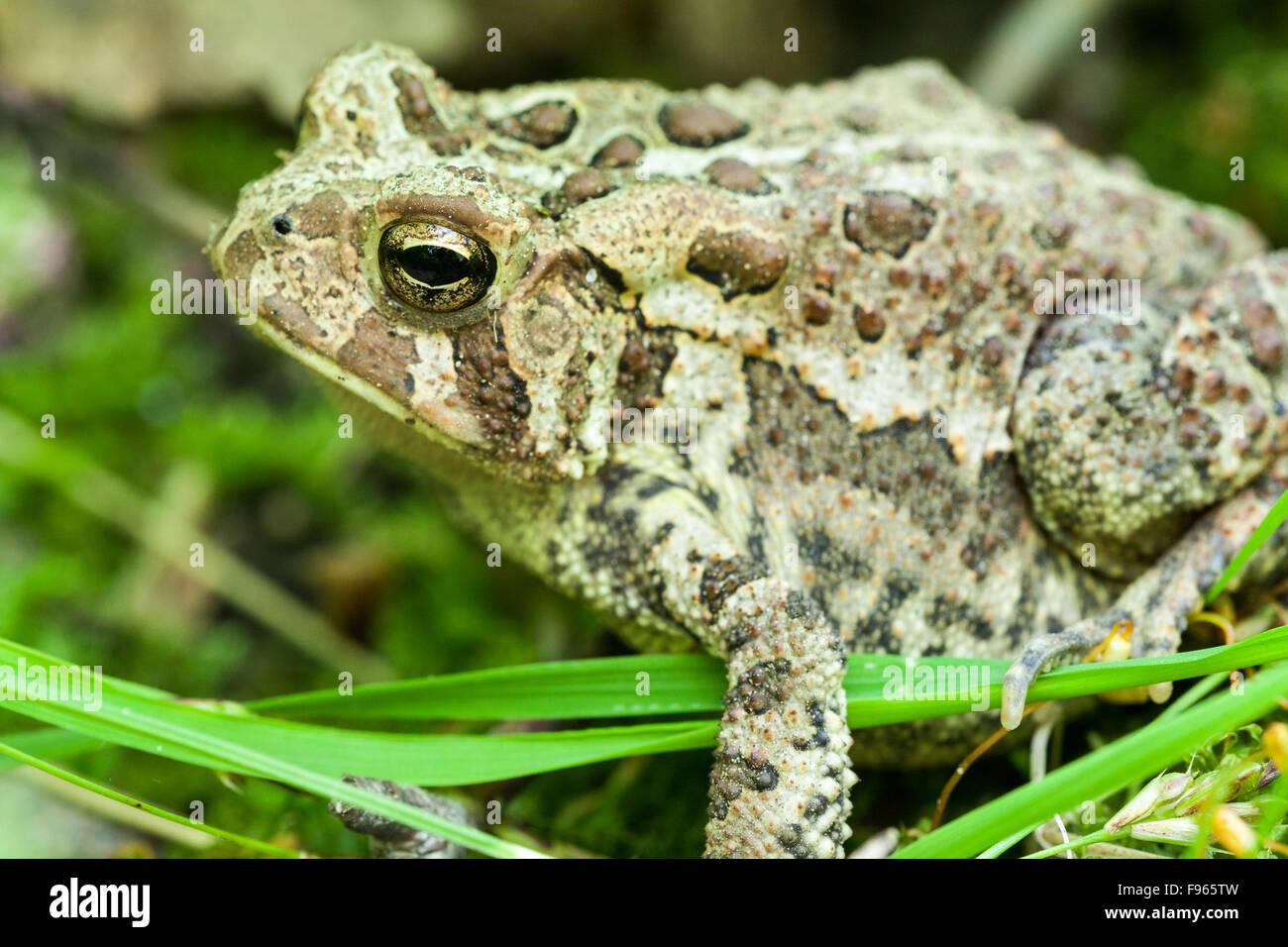 American Toad (Anaxyrus americanus), Bon Echo Provincial Park, Ontario, Canada - Stock Image