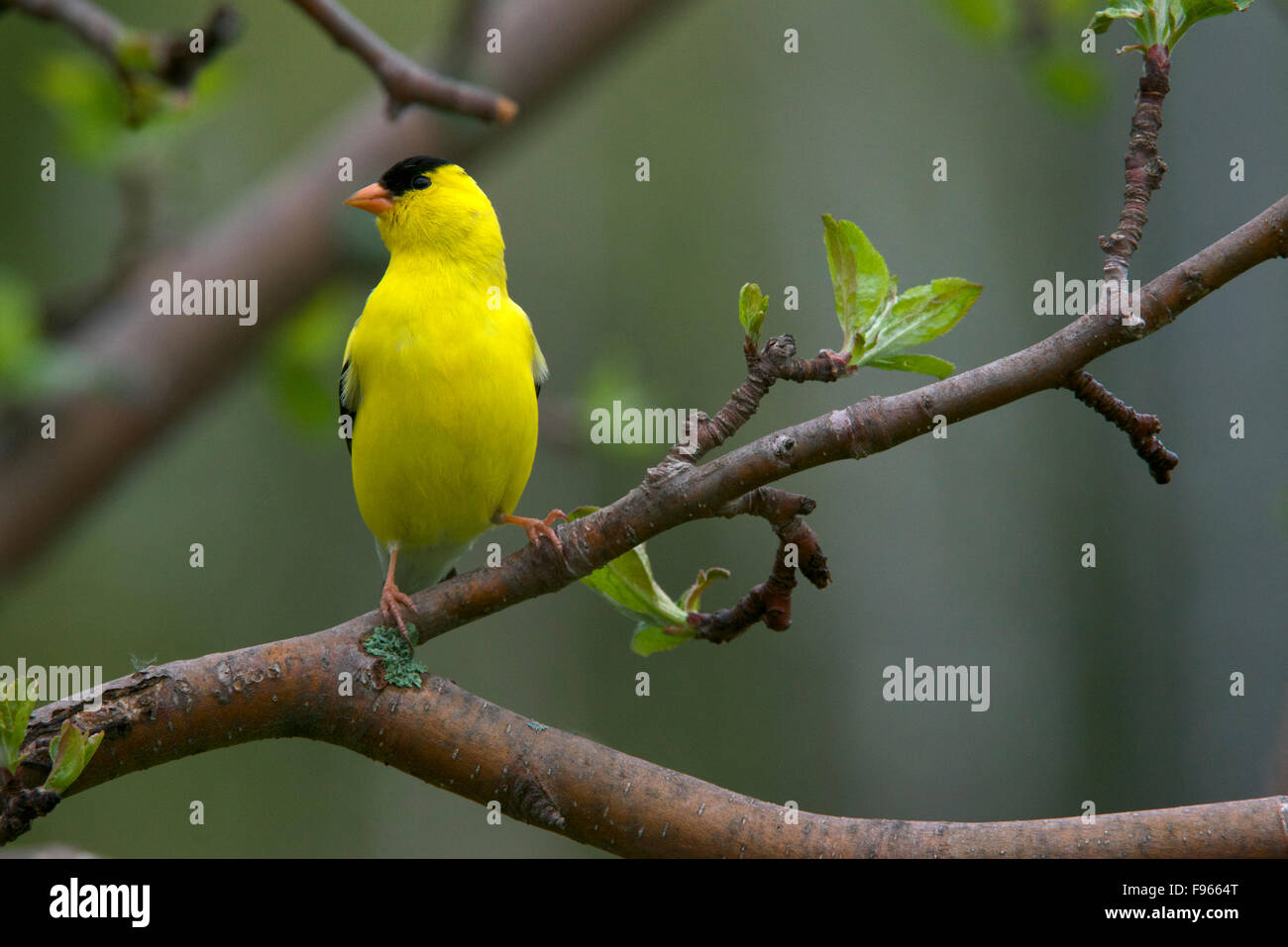 American Goldfinch Male Perched On Spring Apple Tree Branch Spinus Tristis