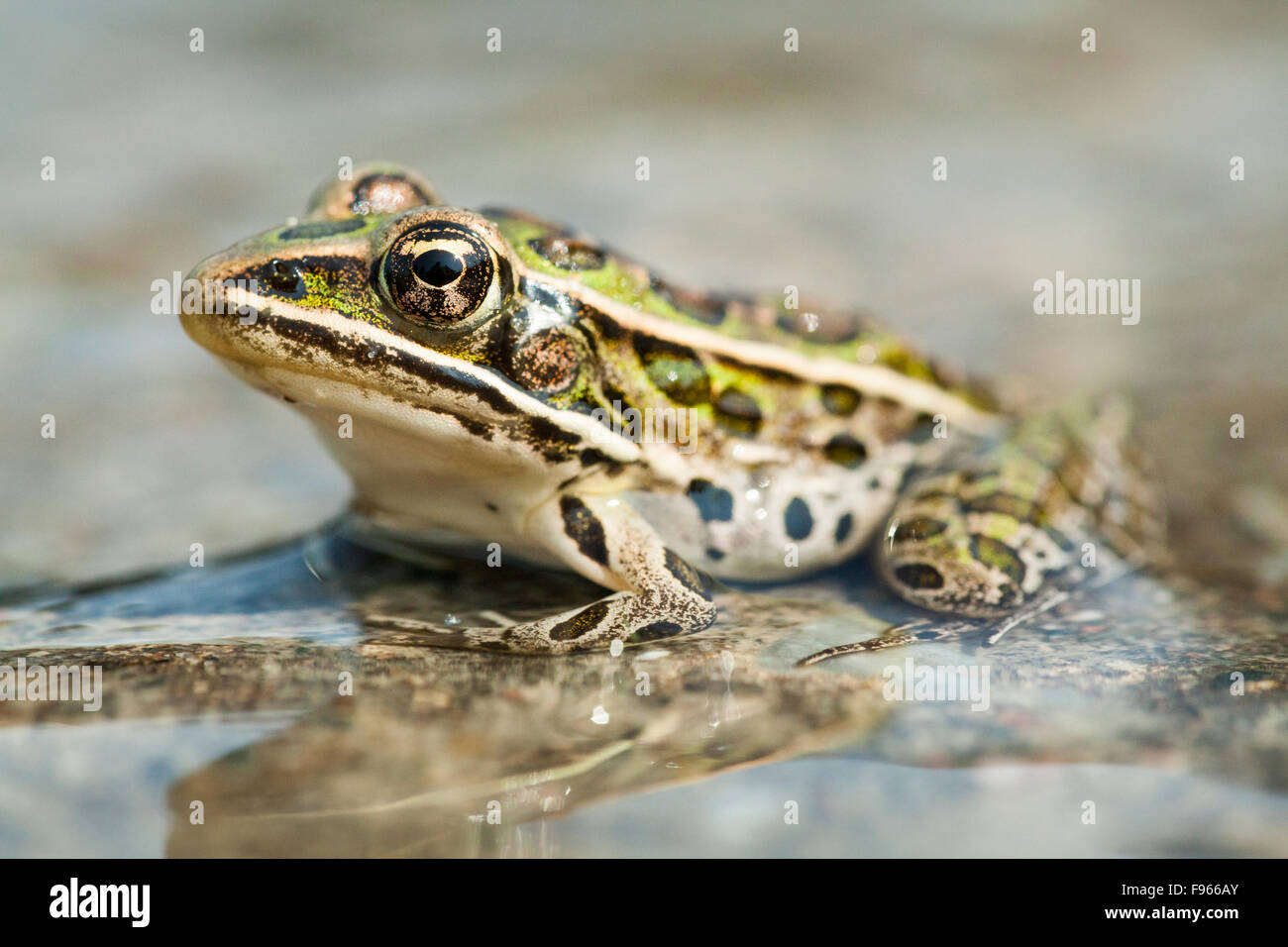 Northern Leopard Frog (Lithobates pipiens), Municipality of Gordon/Barrie Island on Manitoulin Island, Ontario, - Stock Image
