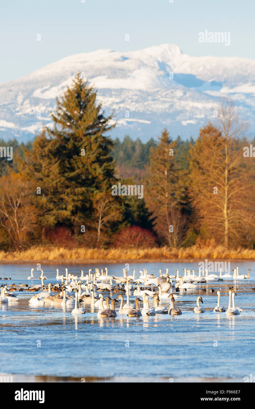 Wintertime finds a gathering of Trumpeter Swans (Cygnus buccinator) relaxing on a pond with Mt. Washington in the - Stock Image