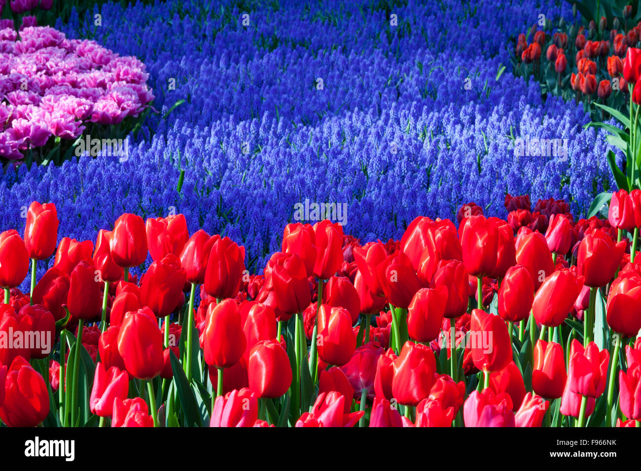 Tulips in Keukenhof Gardens, Netherlands - Stock Image
