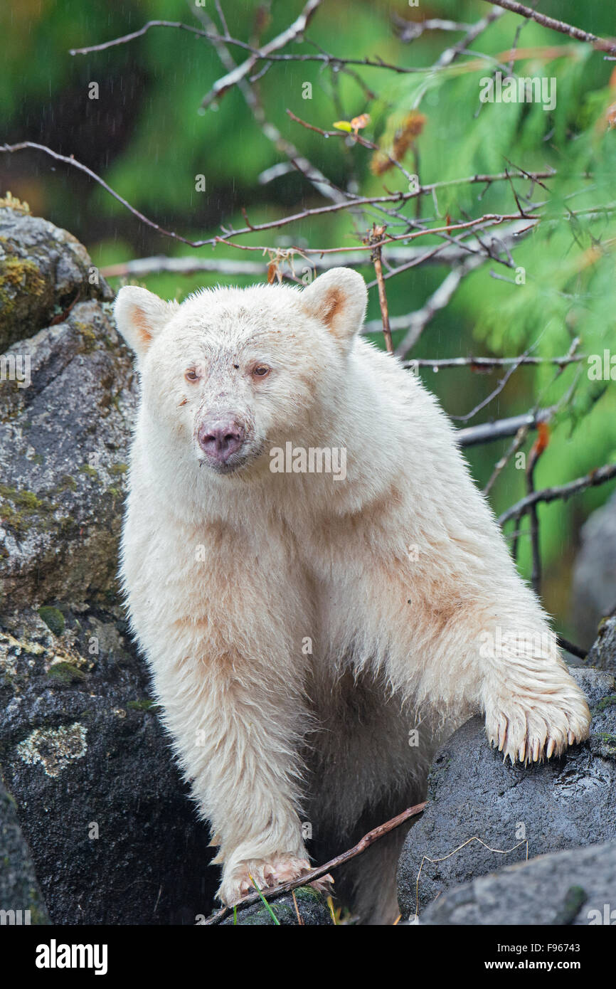 Spirit bear (Ursus americanus kermodei), Great Bear Rainforest, British Columbia central coast, Canada Stock Photo