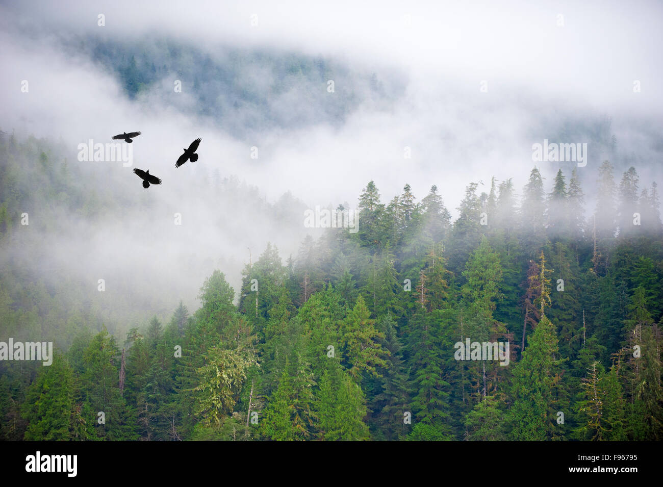 A trio of raven (Corvus corax) fly above the Great Bear Rainforest, westcentral coastal British Columbia, Canada - Stock Image