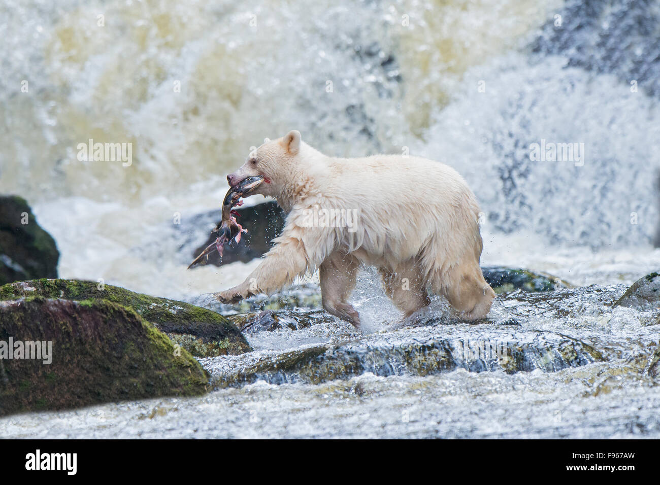 Spirit bear (Ursus americanus kermodei) fishing for pink salmon (Oncoryhnchus gorbuscha) at a salmon stream, Great - Stock Image