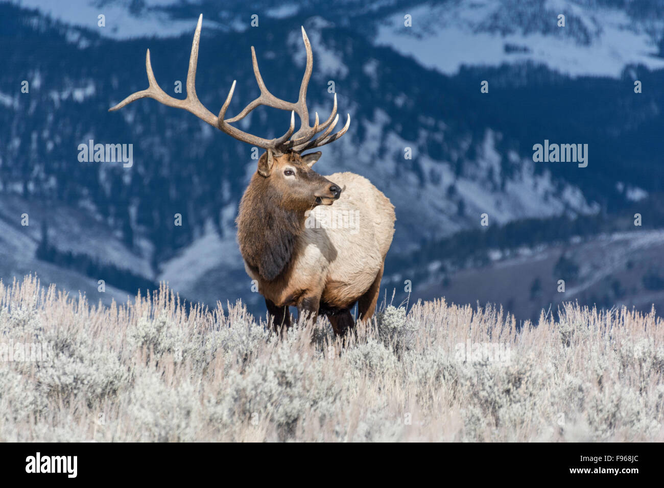 Elk (Cervus elaphus) on a snowy slope on the Columbia Blacktail Plateau. at Yellowstone National Park,Mammoth Hot Stock Photo