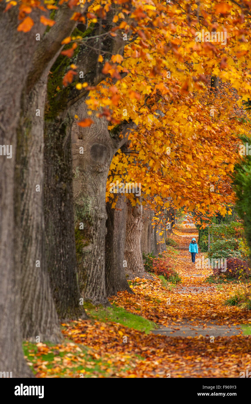 Maple trees along west 10th ave, Vancouver, British Columbia, Canada Stock Photo