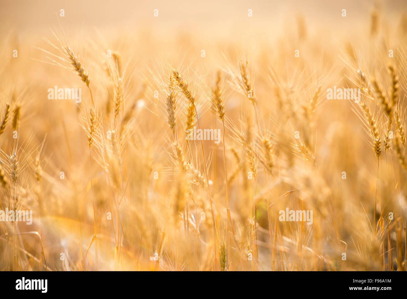 Close up of wheat at sunrise. The Palouse, Washington State, USA. Stock Photo