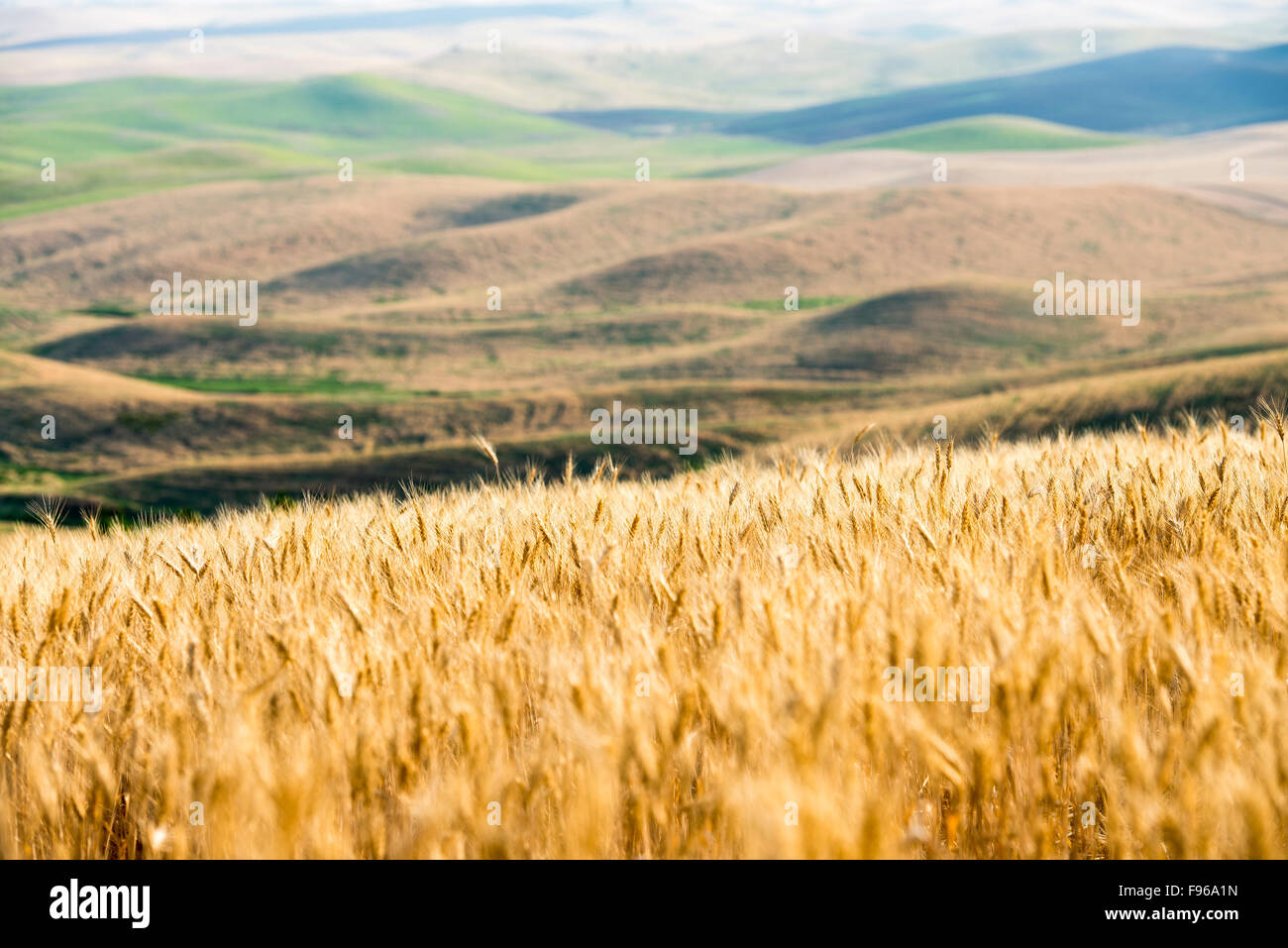 Wheat field with rolling hills of the Palouse in background. Washington State, USA. Stock Photo