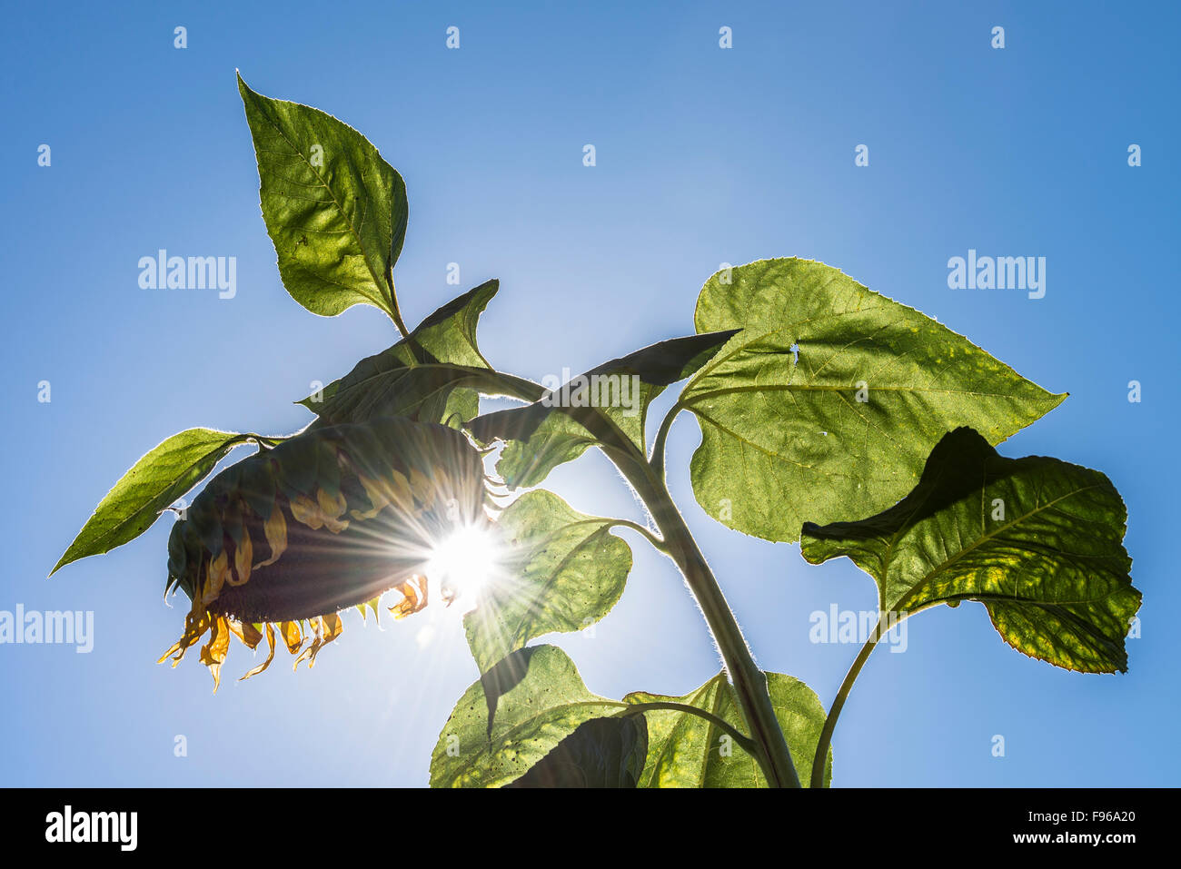 Sun shining through the petals of a large leaning sunflower. - Stock Image