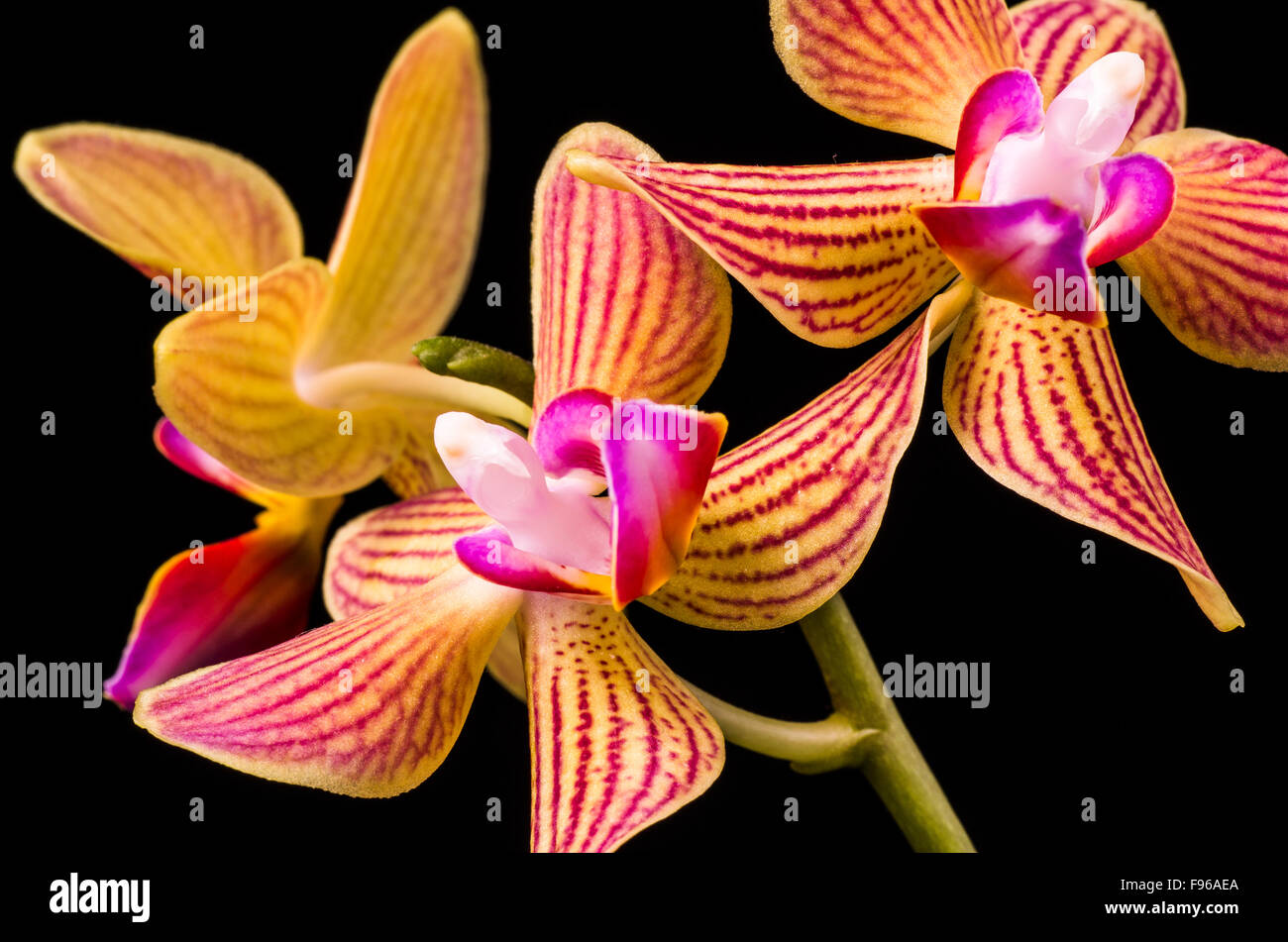 Close up of Orchid flowers, Orchidaceae, with a black background. Black and white image. - Stock Image