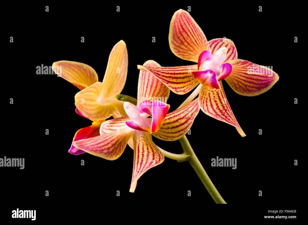 Orchid flowers, Orchidaceae, with a black background. - Stock Image