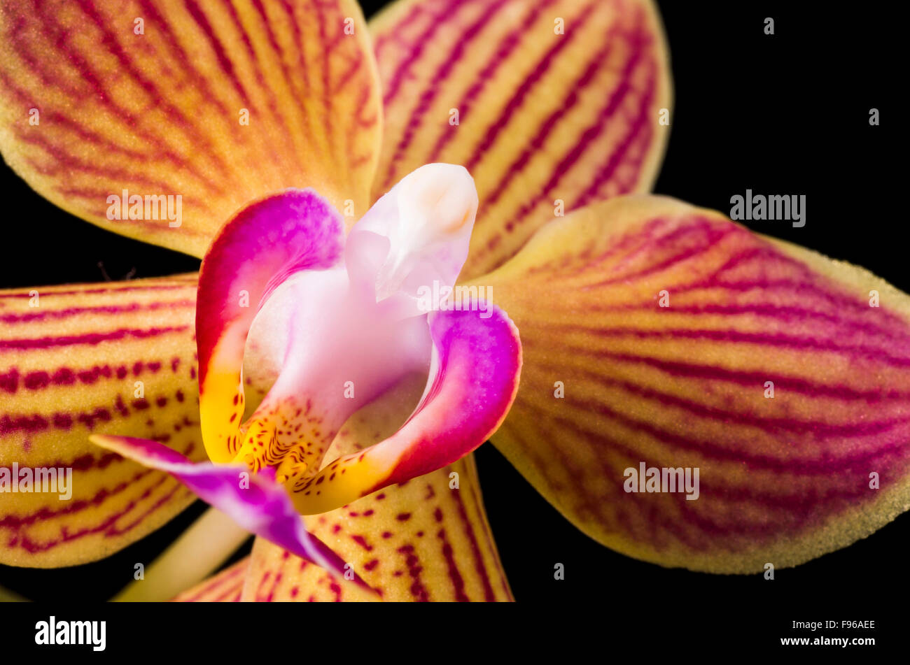 Close up of an Orchid flower, Orchidaceae, with a black background. - Stock Image