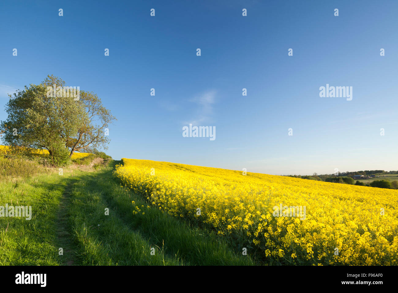 Oilseed Crop Stock Photos & Oilseed Crop Stock Images - Alamy