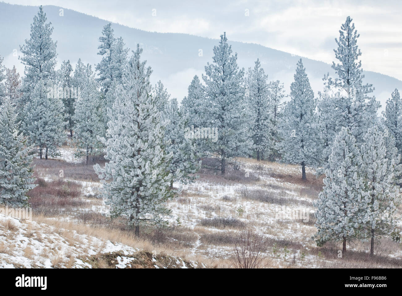 Frosty conifers, Kalamalka Lake Provincial Park, British Columbia, Canada - Stock Image