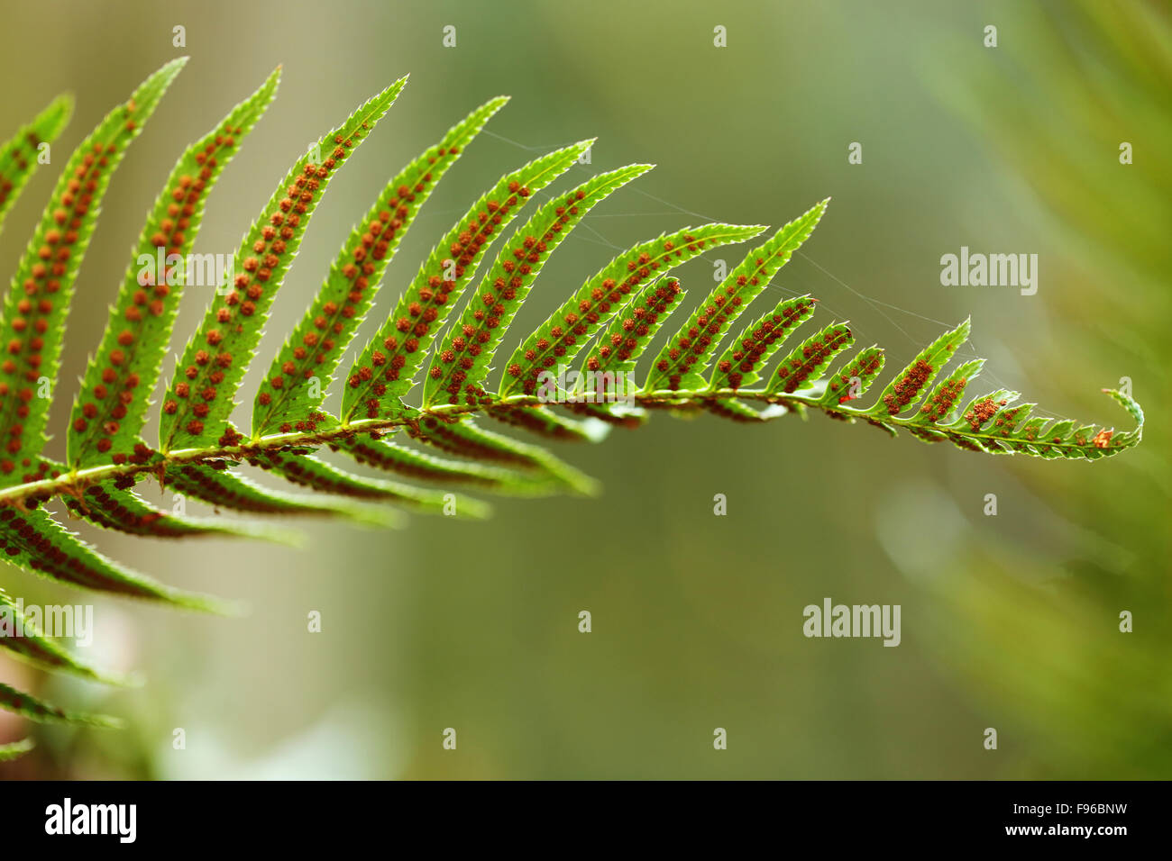 Polypodium glycyrrhiza, licorice fern, manyfooted fern, sweet root, evergreen fern,  British Columbia, Vancouver - Stock Image