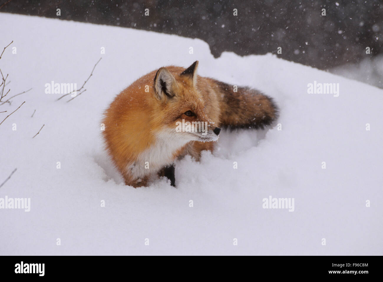 Red Fox (Vulpes vulpes) Adult difficult to observe being shy & primarily nocternal. Does not hibernate.  Algonquin - Stock Image