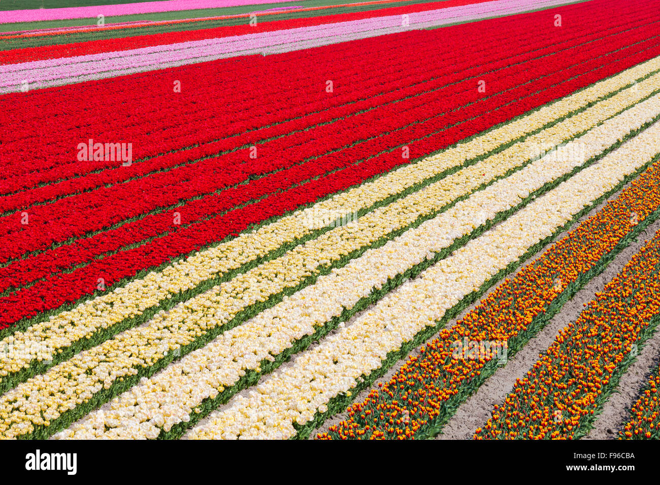 Field of Tulips, North Holland, Netherlands - Stock Image