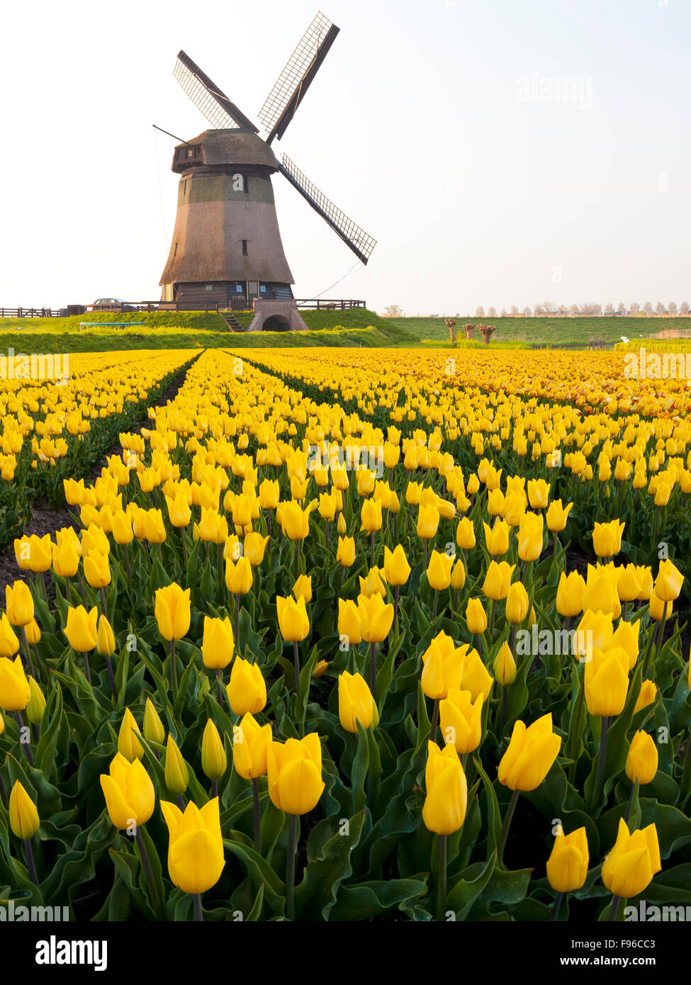 Windmill and Tulip Field near Schermerhorn, North Holland, Netherlands - Stock Image