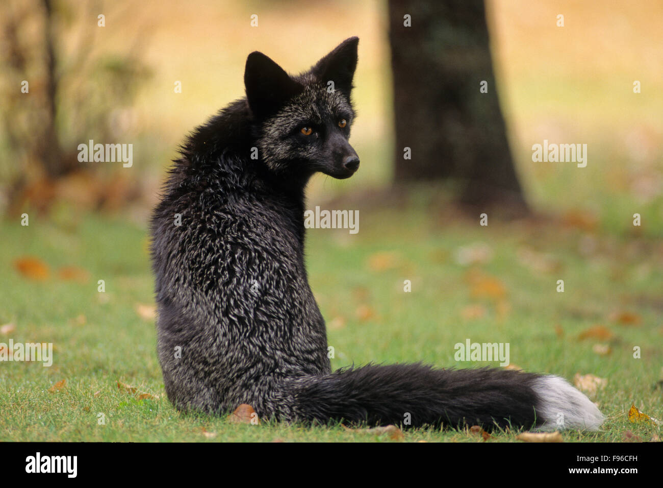 Red Fox (Vulpes vulpes) Adult (Silver phase) Regardless of the colour variations, all red foxes have a whitetipped - Stock Image