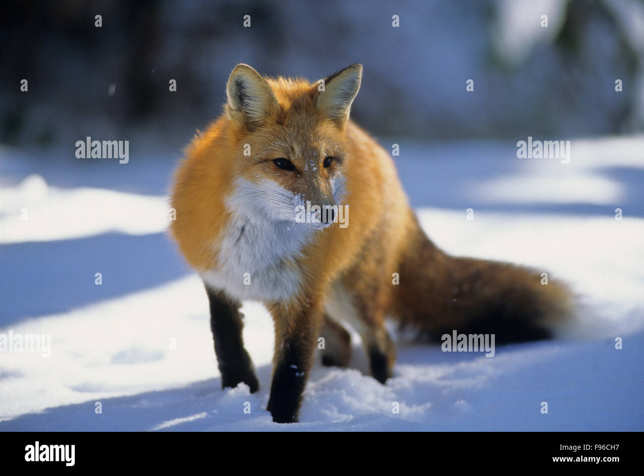 Red Fox (Vulpes vulpes) Adult. Winter diet consists of mice, birds, rabbits & squirrels.   Algonquin Provincial - Stock Image