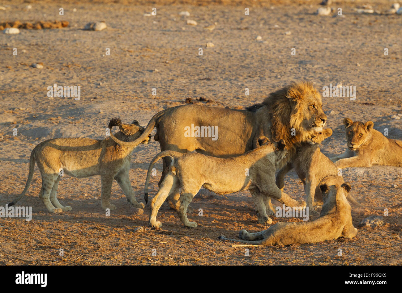Lion (Panthera leo), male is affectionally greeted by the cubs of the pride, Etosha National Park, Namibia - Stock Image