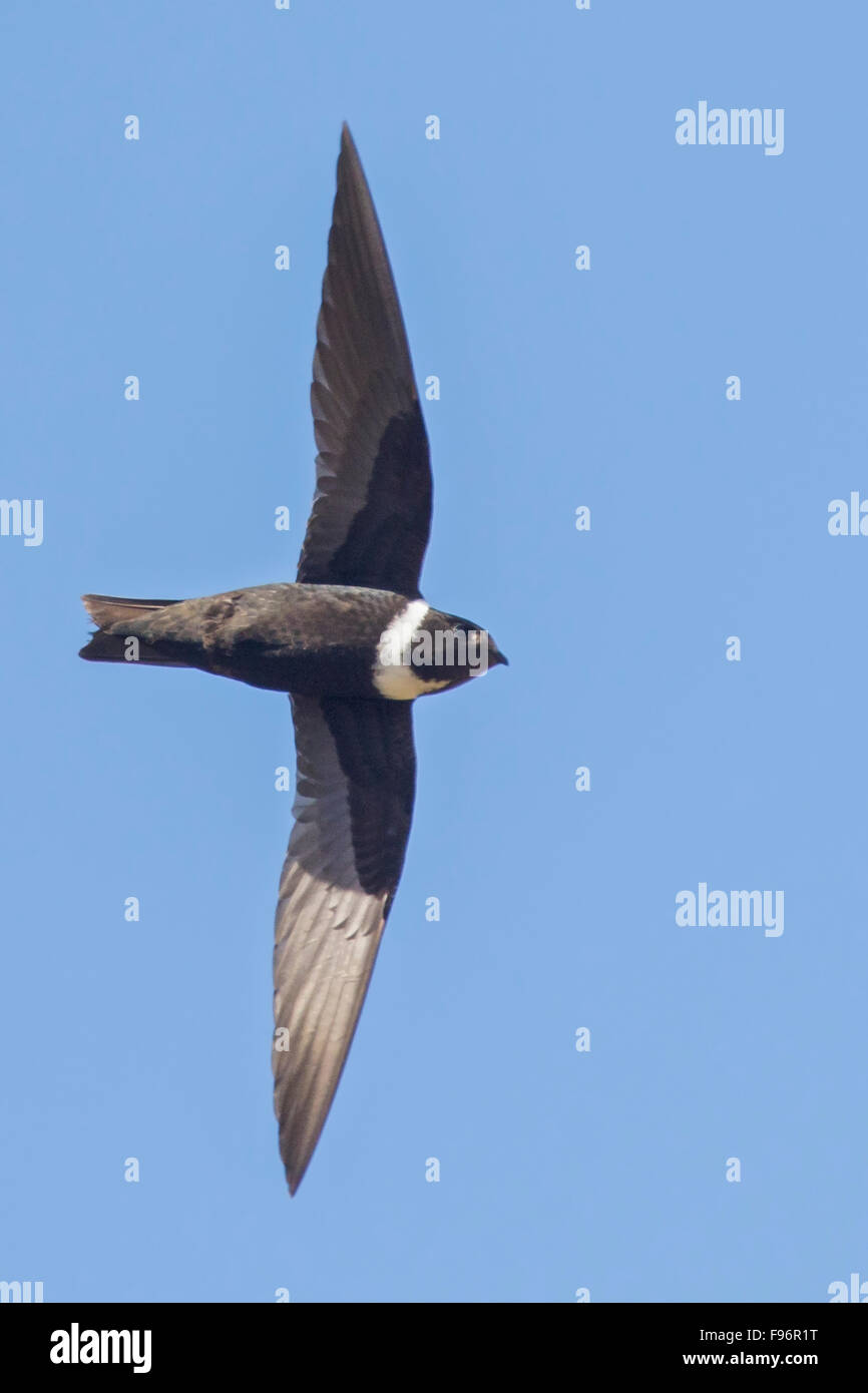 Whitecollared Swift (Streptoprocne zonaris) flying in Cuba. - Stock Image