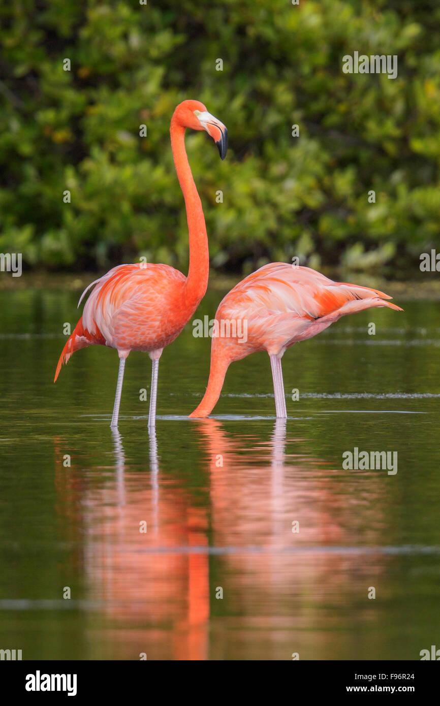 American flamingo (Phoenicopterus ruber) feeding in a lagoon in Cuba. Stock Photo