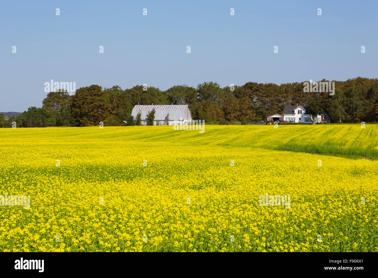 Farm and Brown Mustard field in Bloom, Crapaud, Prince Edward Island, Canada Stock Photo