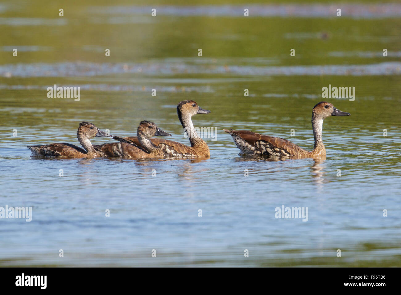 West Indian Whistling Duck (Dendrocygna arborea) feeding in a lagoon in Cuba. Stock Photo