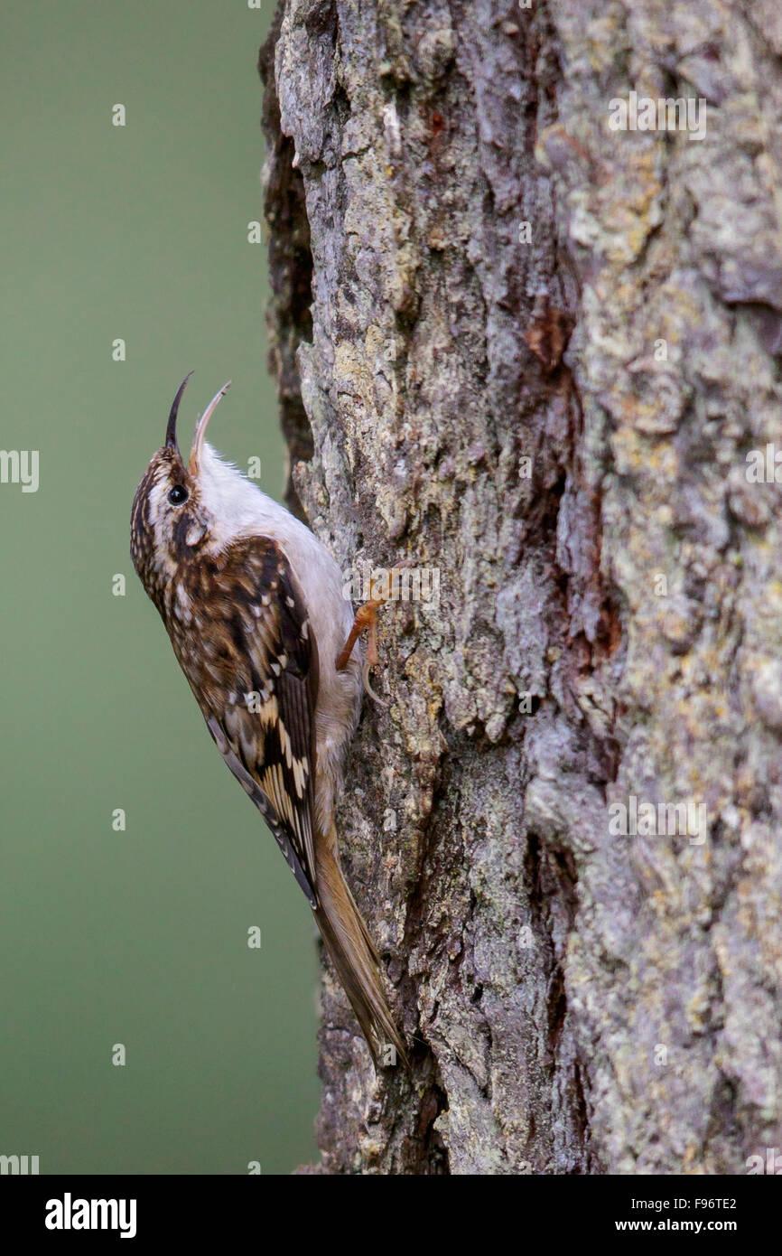 Brown Creeper (Certhia americana)  perched on a branch in Victoria, BC, Canada. - Stock Image