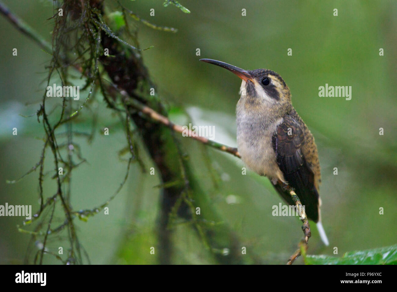 Longtailed Hermit (Phaethornis superciliosus) perched on a branch in Costa Rica, Central America. - Stock Image
