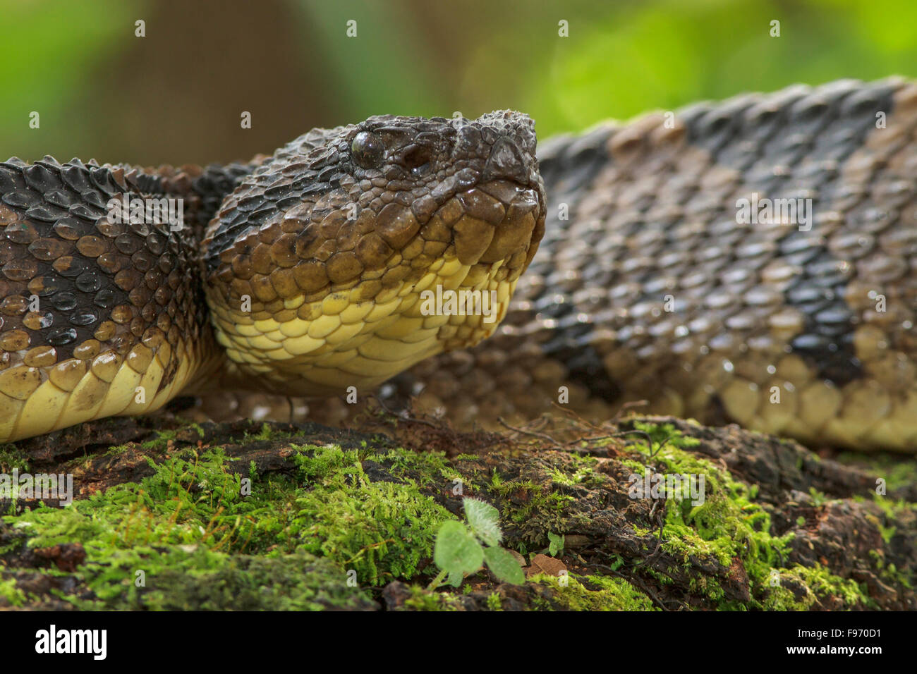 Jumping Pit Viper ready for striking, Costa Rica - Stock Image