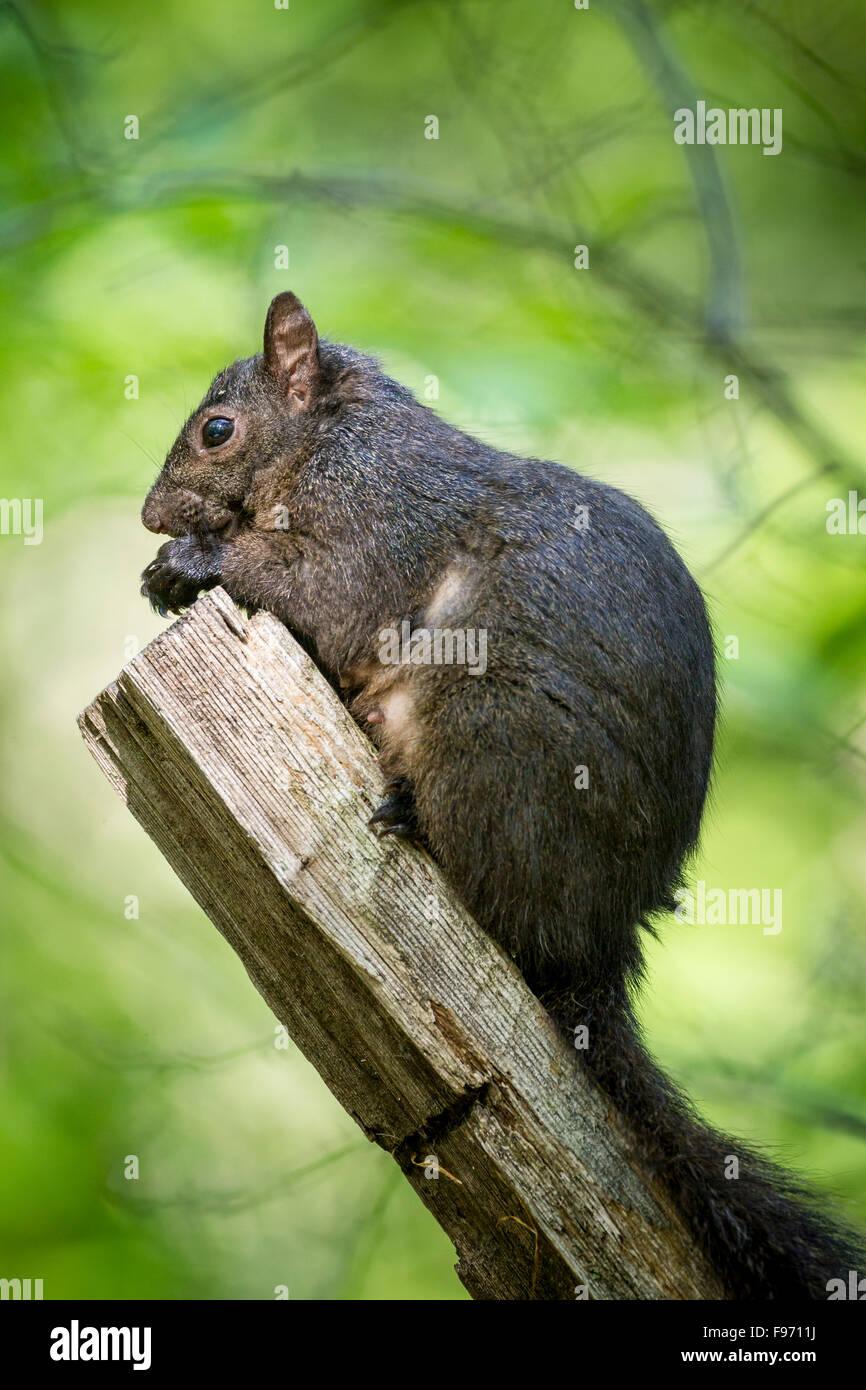 Eastern Grey Squirrel (Sciurus carolinensis), Lynde Shores Conservation Area, Whitby, Ontario - Stock Image