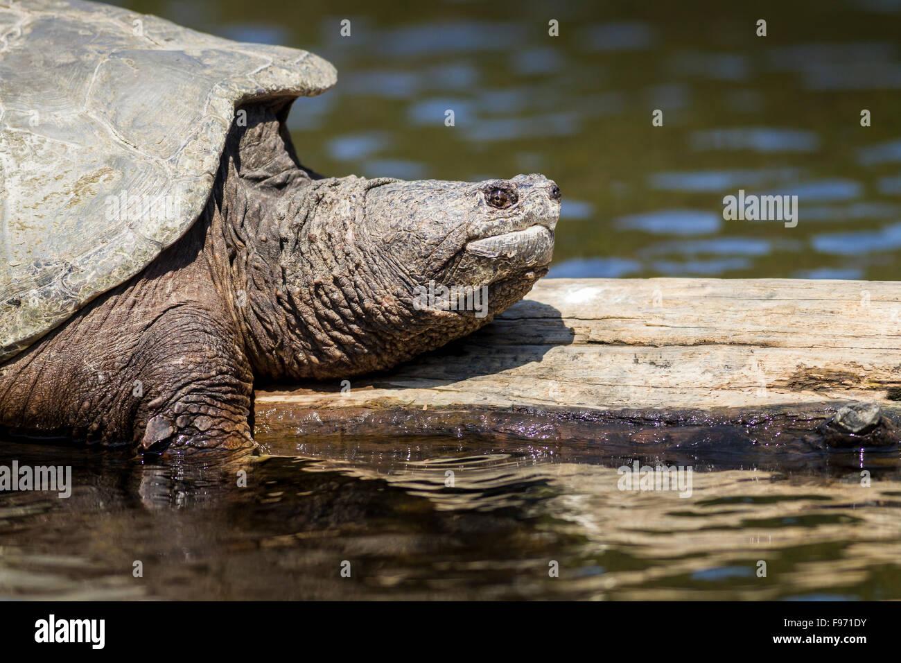 Snapping Turtle (Chelydra serpentina) sunning on a log, Killarney Provincial Park, Ontario - Stock Image