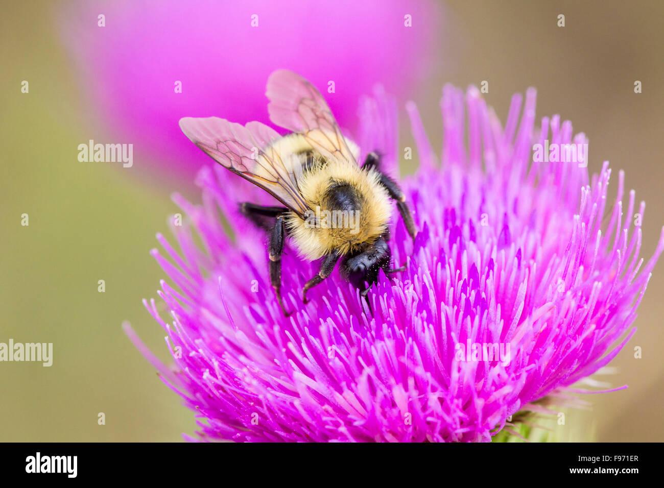 A native Bumble Bee (Bombus) on nonnative Bull Thistle (Cirsium vulgare), Manitoulin Island, Ontario - Stock Image
