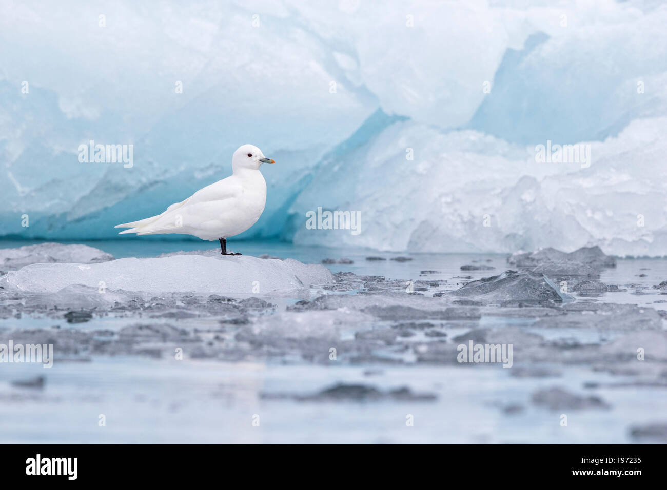 Ivory gull (Pagophila eburnea), adult on ice at glacier front, Samarinvagen Bay, Hornsund  Fjord, Svalbard Archipelago, - Stock Image